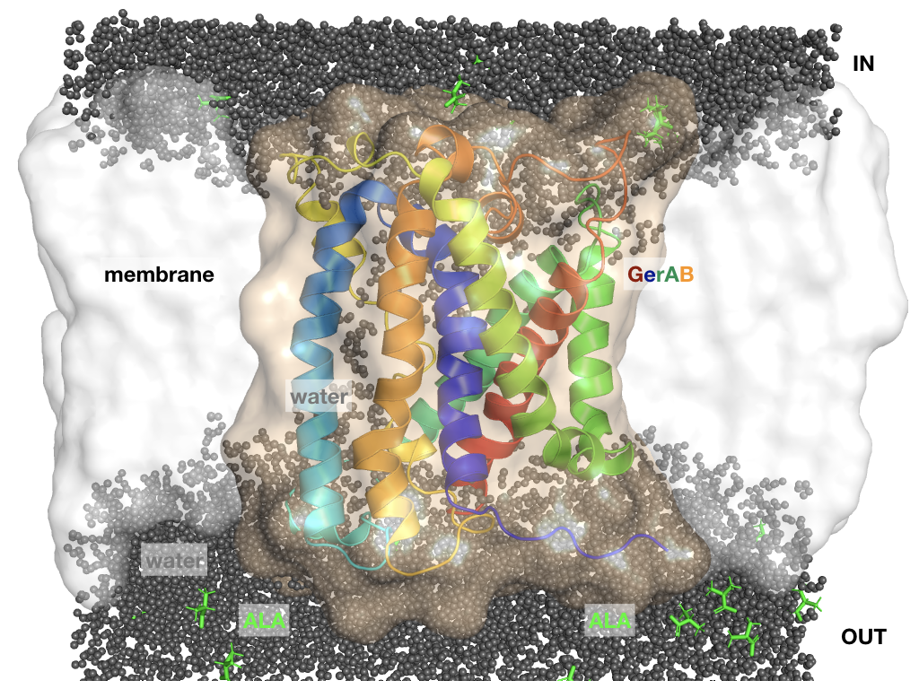 Structure prediction of a bacterial spore membrane protein